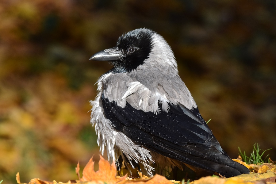 Wrona siwa (Corvus corone)