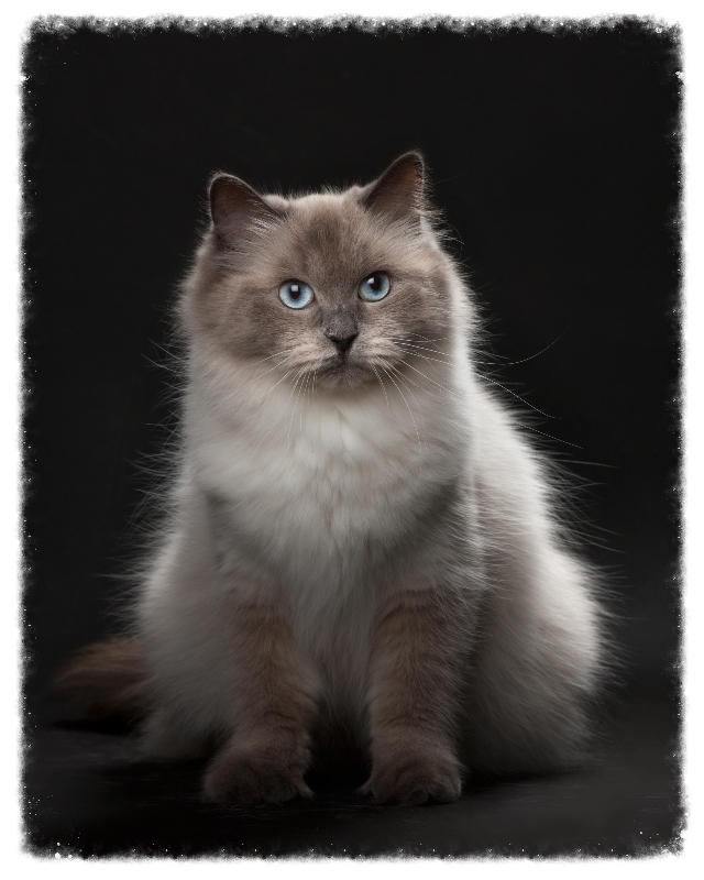 Hodowla Kotów Neva Masquerade