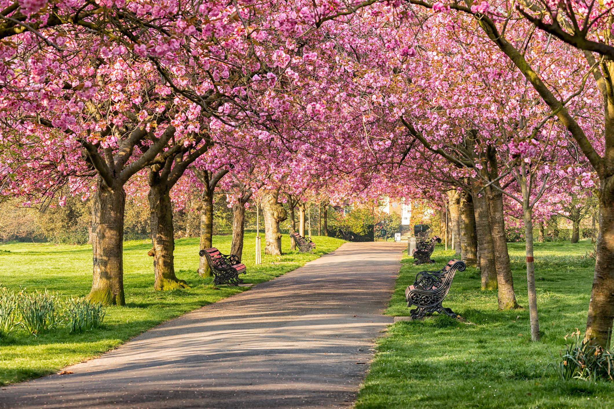 cherry-blossom-at-greenwich-parkjpg